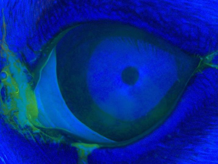 Caso de cirugía de ojo seco en perro (prueba fluoresceina)