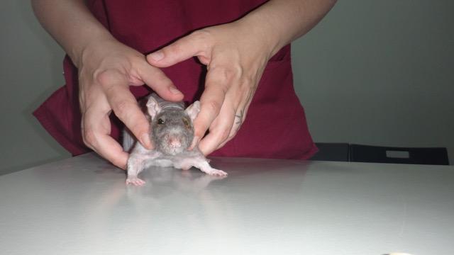 cirugia de entropion en una rata
