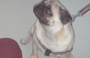 Post cirugía proptosis o prolapso ocular perro carlino