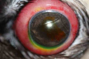 Proptosis ocular perro carlino