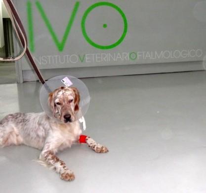 Perro tras cirugia extracción cuerpo extraño