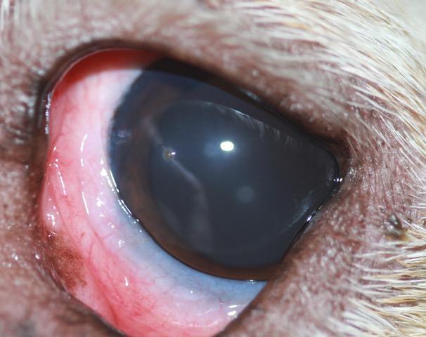 Objeto en ojo perro