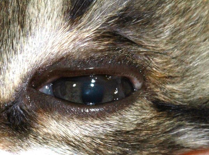 Ojo gato con entropion y secuestro corneal