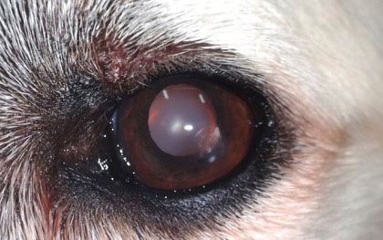 Caso tumor palpebral en perro - postcirugia