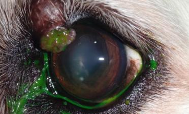 Caso tumor palpebral en perro - precirugia
