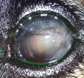 Ojo izquierdo de Nur, una pastor alemán con queratitis superficial crónica o pannus