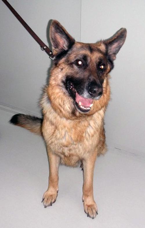 Caso queratitis inmunomediada en perro raza pastor alemán