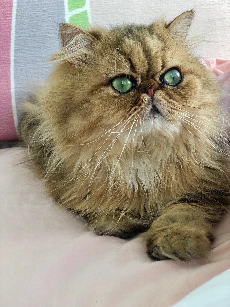 Caso de cross linking corneal en gato persa