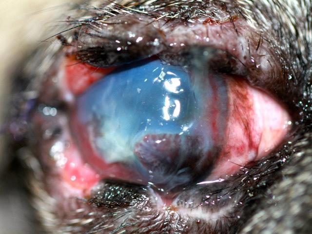 Ojo derecho de Iker con heridas palpebrales, úlcera estromal profunda, estrabismo divergente y queratitis pigmentaria