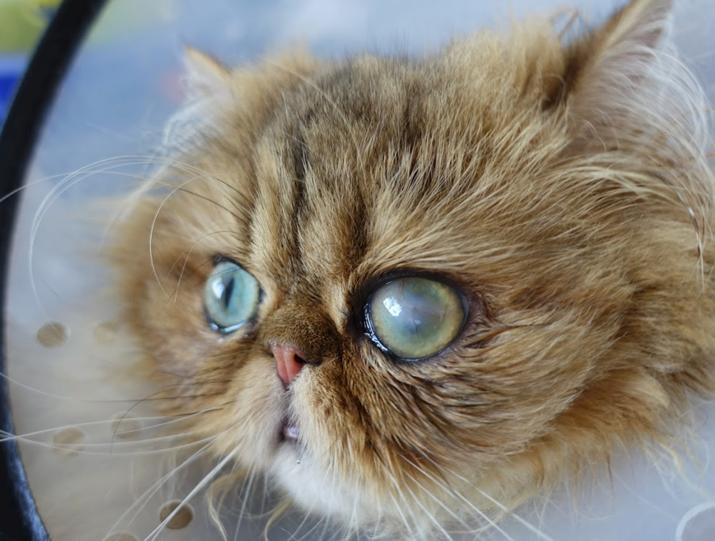 Úlcera corneal gato al mes de la cirugía