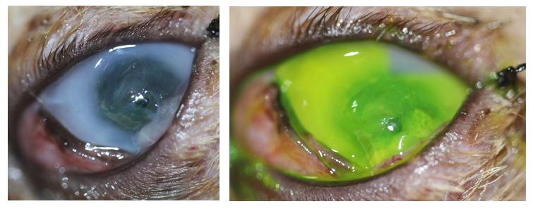 Úlcera infectada de gato antes de la cirugía