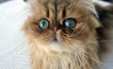 Úlcera infectada crosslinking caso Nugget gato