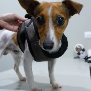 Perro con desprendimiento de retina - Caso Currito