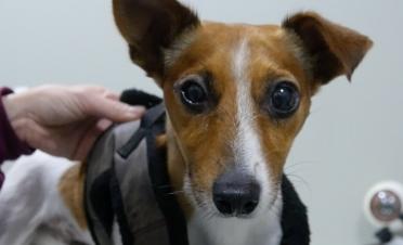 Perro con desprendimiento de retina en revisión postcirugia de vitrectomía