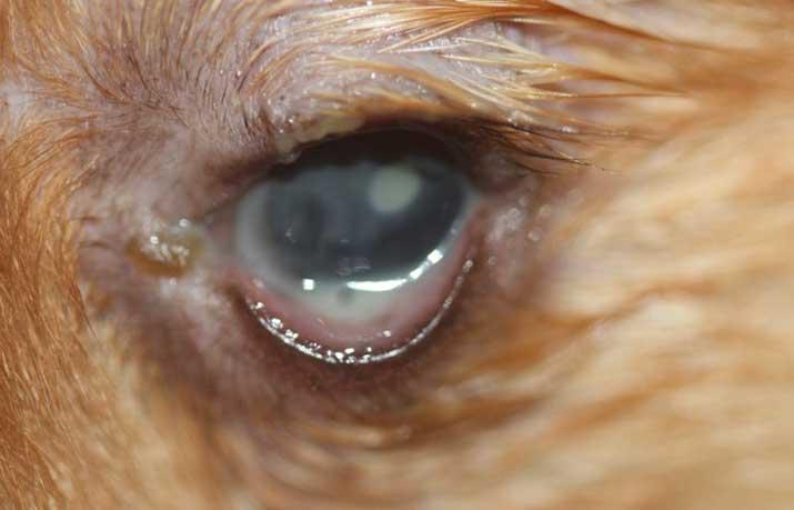 Perro con queratoconjuntivitis seca precirugía