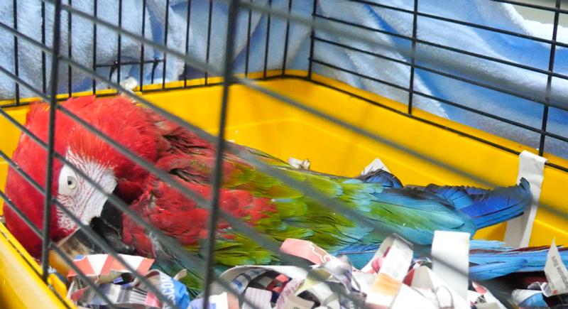 Revisión de cirugía de cataratas en un pájaro