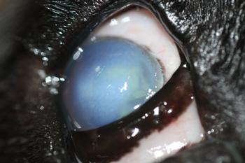 Ojo derecho perro con úlcera estromal profunda por procesionaria del pino
