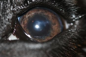 Ojo izquierdo perro