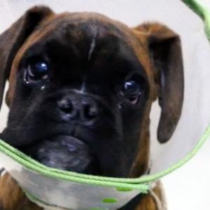 Heridas procesionaria en perro. Postcirugía