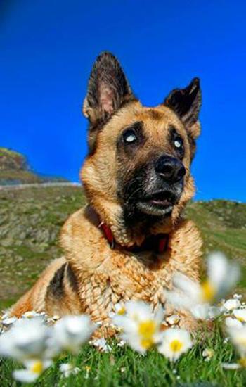 Kyla, un perro pastor alemán sin posibilidad de recuperar visión