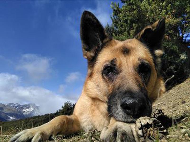 Kyla, un perro pastor alemán con prótesis oculares