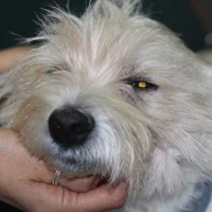 Caso ojo seco en perro tratado con células madre