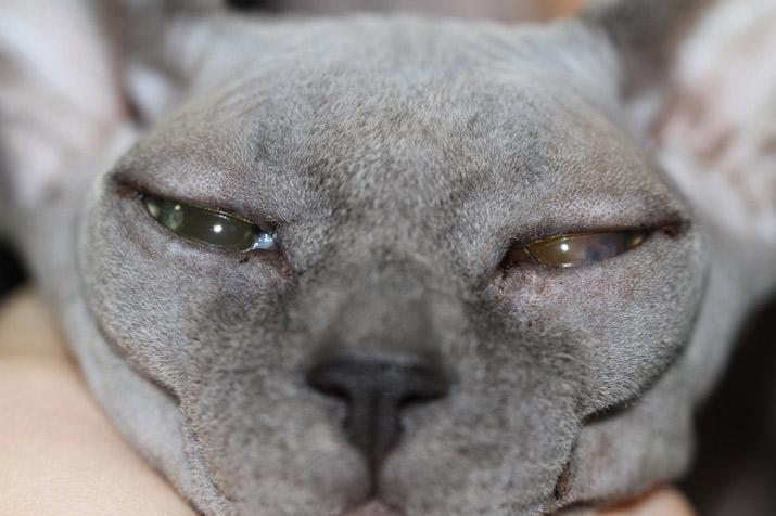 Caso clínico blefaritis ulcerativa bacteriana en gato