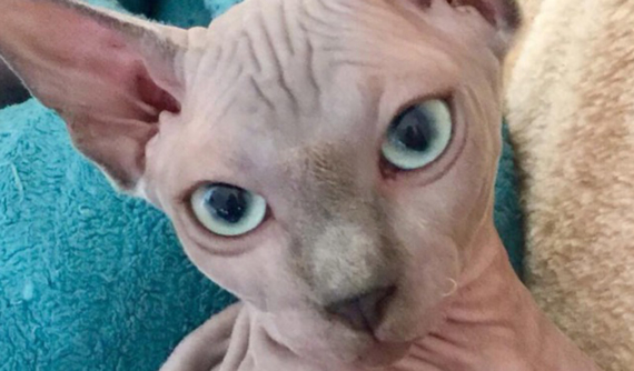 Blefaritis en gato caso Lia