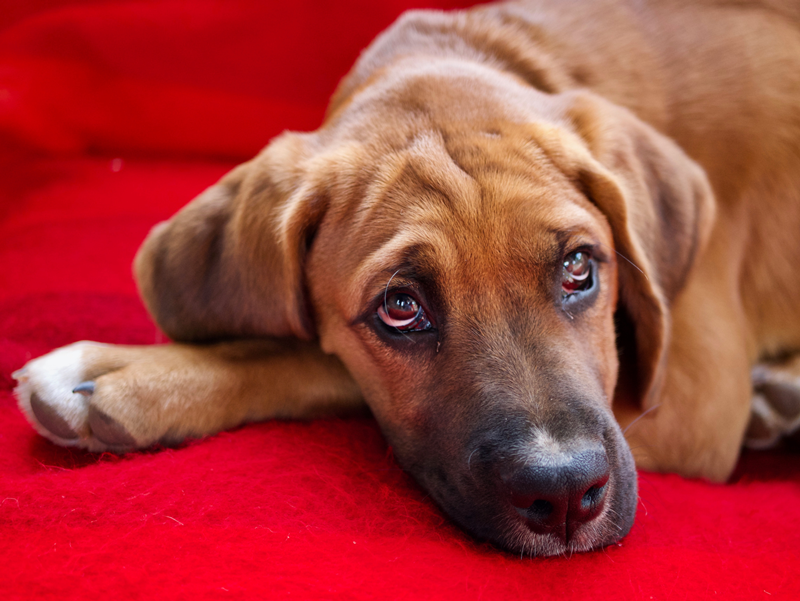 Ojo rojo en perros