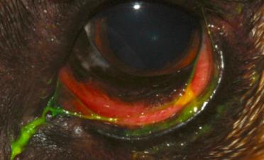 Ojo rojo en un perro por conjuntivitis