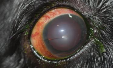 Ojo rojo en un perro por glaucoma