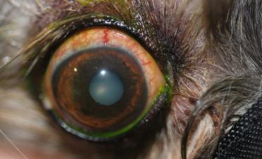 Ojo rojo en un perro por sequedad ocular