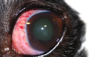 Ojo rojo en un perro por uveítis