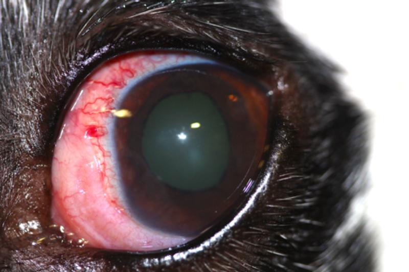 sangre en el ojo de mi perro