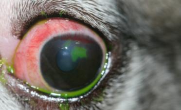 Ojo rojo en un perro por úlcera corneal