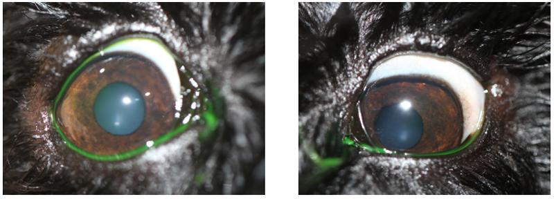 Perro con orzuelos en ambos ojos, a los 10 días de tratamiento (Caso Ada)