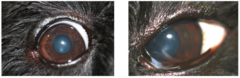 Perro con orzuelos en ambos ojos, a los 20 días de tratamiento (Caso Ada)