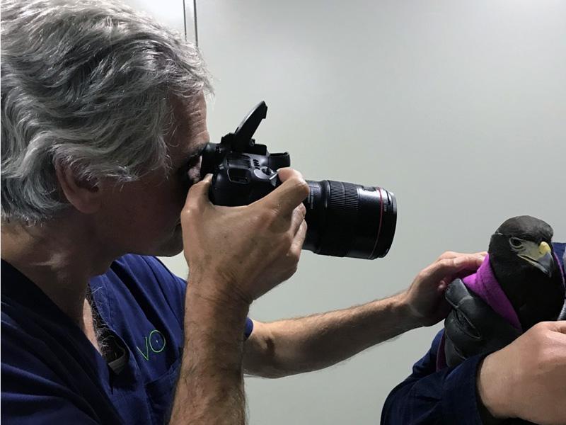 Revisión oftalmológica de una águila de harris