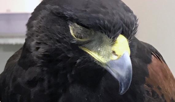 Herida o úlcera corneal en águila americana