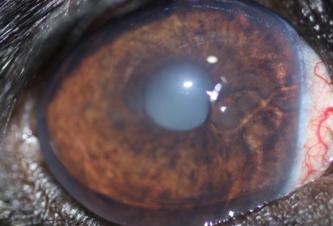 Ojo canino con glaucoma