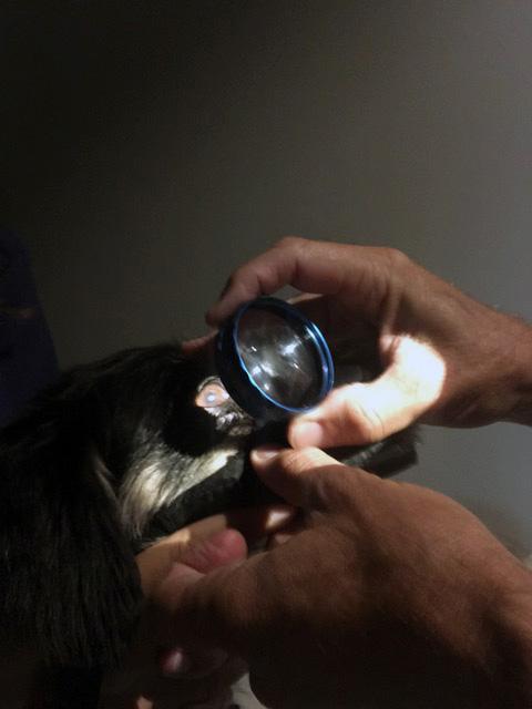 Exploración oftalmológica caso glaucoma perro