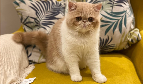 Felino con ulcera dendritica post tratamiento - Caso Maui