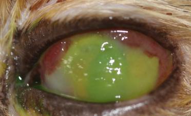 Test de fluoresceína de ojo de gato con úlcera melting - Caso Bagheera