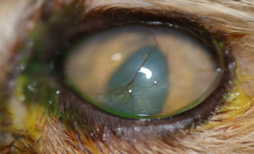 Test de fluoresceína de ojo de gato con úlcera melting los 2 meses de tto - Caso Bagheera