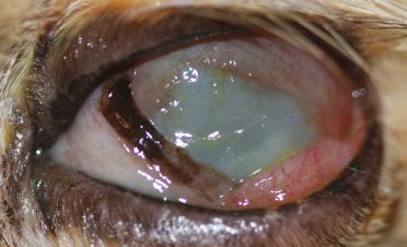 Ojo de gato con úlcera colagenasa o melting en tratamiento de 2 semanas