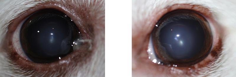 Ojos perro uveitis lipémica post tratamiento (dos meses)