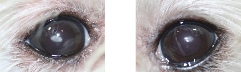 Ojos perro distrofia lipidica corneal - Caso Apolo