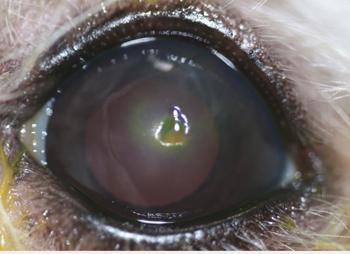 Ulcera distrofia lipidica corneal - Caso Apolo