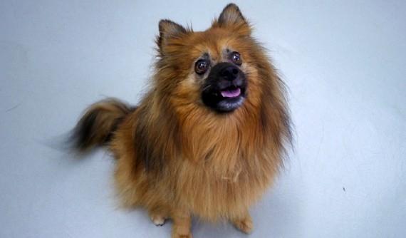 Perro con ceguera subita por desprendimiento de retina - Caso Fox