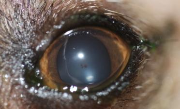 Ojo perro post cirugía de desprendimiento de retina - Caso Fox